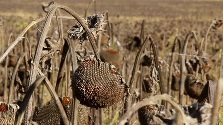 choroba : Sunflower field affected by drought Wideo