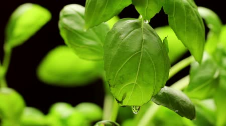 крупный план : Fresh green basil leaves closeup, rotating Стоковые видеозаписи