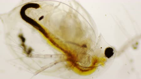 паразитный : Daphnia pulex or common water flea under the microscope in 4k