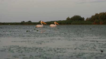pióro : Great white pelicans at dawn in Danube Delta