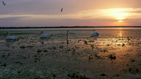 pelicans : Great white pelicans at dawn in Danube Delta