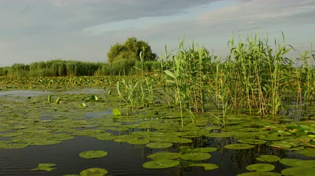cattail : Danube Delta wetlands in motion