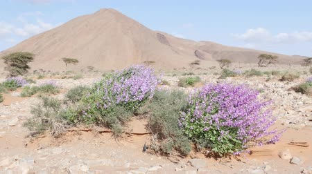 засушливый : Wild pink flowers waving in the wind in Morocco desert, north Africa. 4K UHD in Cinelike Gamma (flatter profile suitable for grading) by Panasonic GH-4. Стоковые видеозаписи