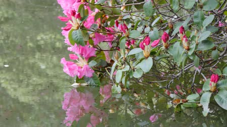 yansıma : Pond water surface with reflection of colorful red flowers