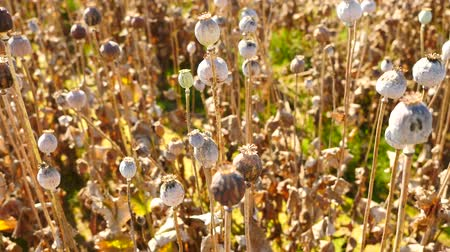 herbal : Long dry stalk of poppy seed. Evening field of poppy heads waiting for harvesting. Afternoon poppy field in windy weather, dry poppy heads are shaking.