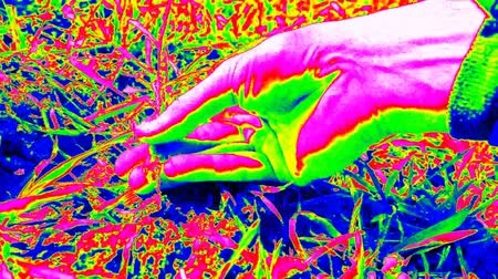 infra : Thermography ultra violet scanning. Man hand Yanks plant from humus clay. Quality check of wheat and plant roots. Hand touching stalk, leaves and roots, plant put back. Colors of ultra violet light