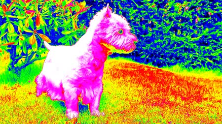 infra : Ultraviolet scan. West Highland White Terrier sitting on the green grass in the garden. The dog watches the surroundings and is alert. Infrared camera view