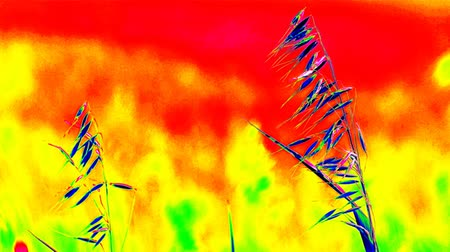 infra : Outdoor radiation measurement, oat grass in barley field. Field of ripening corn plants at mid of June. Infra thermal camera view