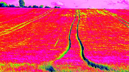 infra : Ultraviolet scan of tractor tracks in young barley field. Ripening corn plants are blowing in the wind. Outdoor measurement with infrared thermo camera view