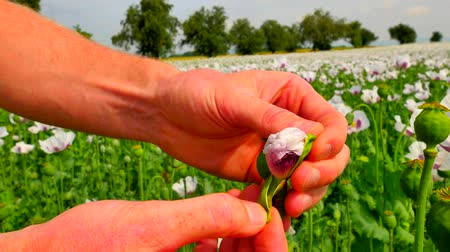 codeine : Man hand open flower bud of white poppy in field. Check out the color of the poppy petals. Filed of unripened Papaver somniferum. Farmer hands just in front of view Stock Footage
