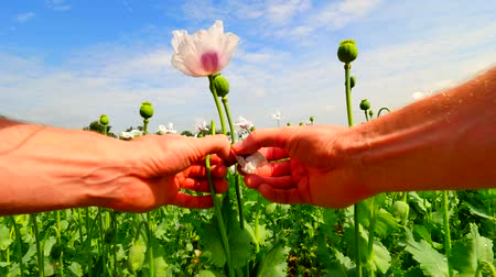 codeine : Man hand is opening white poppy bud in large field. Check out the color of the poppy petals. Field full of greens unripened Papaver somniferum. Point-of-view footage. Stock Footage
