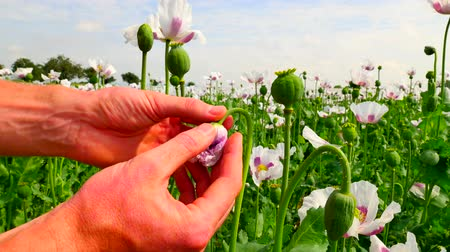 codeine : Man hand is opening white poppy bud in large field. Check out the color of the poppy petals. Field full of green unappeared Papaver somniferum.POV