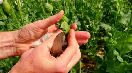 codeine : Point-of-view footage. Man hand cut poppy head in field with pocket knife. Check of poppy quality of green unappeared Papaver somniferum. Farmer hands just in front of view Stock Footage