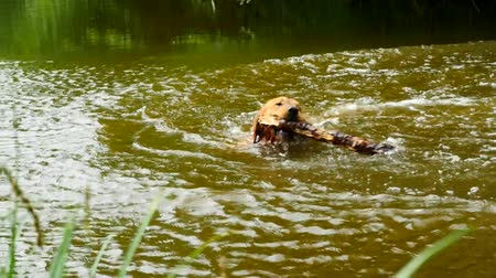 fejest ugrik : Swimming dog Retrieving wooden branch. Young Golden retriever dog swimming in the water.