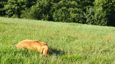 gnaw : Young golden labrador dog gnawing and branch of a tree. Dog playing in meadow