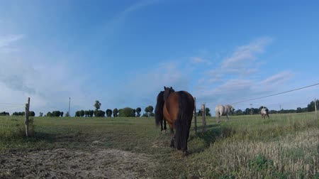 Horses are walking on meadow summer morning. Old church or chapel on hill in background.