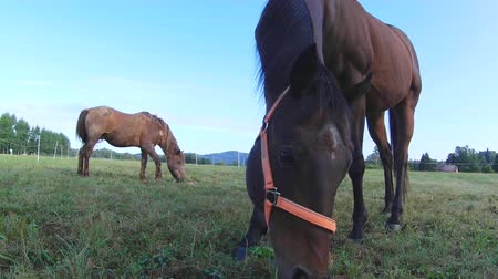 criniera : Horse grazing. Brown horse on farm pasture. Close-up of brown horse feedig on pasture.