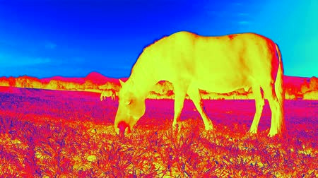 effectiviteit : Infra red thermal video scanning. Thermal IR of horse body Stockvideo