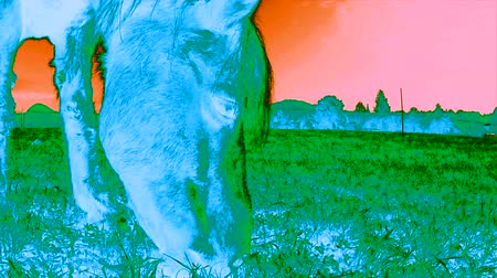 thermography : Thermal scan or infrared view of a pony horse grazing on a meadow Stock Footage