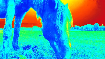 infra : Thermal camera video of horse grazing in field. Temperature detection in nature Stock Footage