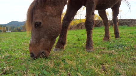 Old pony walking slowly and grazing. Pony on meadow with grazed grass |