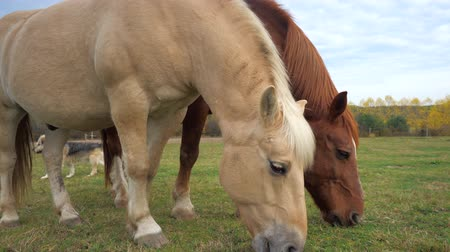 чистокровный : Light isabella and brown horsewalk and grazing together in horse farm paddock