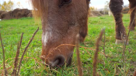 Very old little brown pony eating grass in the horse farm paddock. The last green leaves and stalks in autumn Stock Footage