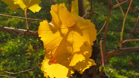 Yellow leaves, sweet and flavorful grapes before harvest