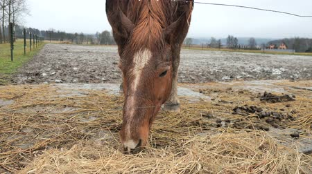 hekje : The horse chestnut hucul eats dry hay behind an electric fence in rainy day.