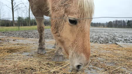 stabilní : Red Golden Isabella Hucul Horse is feeding dry hay in muddy paddock. Nice healthly and fat horse with winter fur.