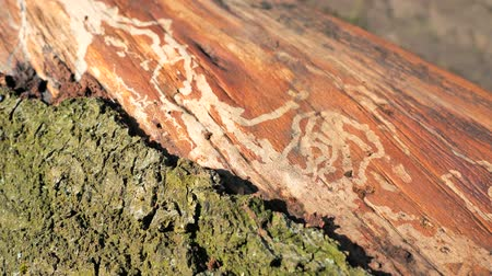 elesett : Follow marks of Bark Beetle on Spruce Trunk. Damaged  killed tree by small beetle. Stock mozgókép