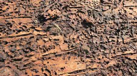 decoratief : Detail of bark. The inside bark, eaten bast between bark and wood of spruce. Bark beetle. Forest devastation, Calamity. Stockvideo