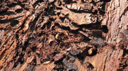 çürümüş : Detail of bark with pets. Harvesting of attacted trees. Stok Video