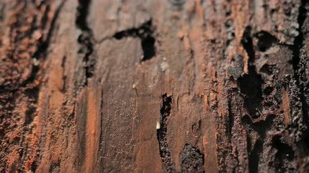 szakadt : Bark in dead forest destroyed by wood worm in National Park. Wood affected with woodworm