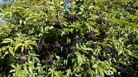 mürver : A Cluster of Elderberries on the Tree, autumn
