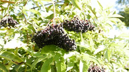 mürver : Sambucus nigra Elder, Elderberry, Black Elder, European Elder, European Elderberry, European Black Elderberry, Common Elder, Elder Bush