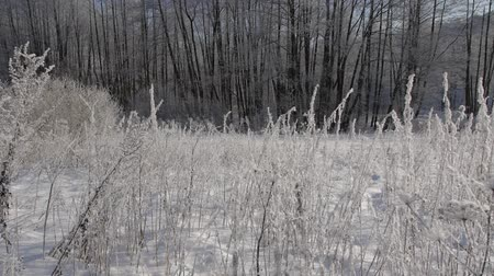 thornbush : 4K Ultra HD Video of grass With Hoarfrost in Frosty Day