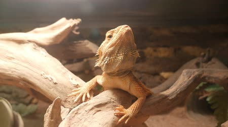 pogona : Bearded dragon lizard sitting on a tree branch in terrarium and turning his head.