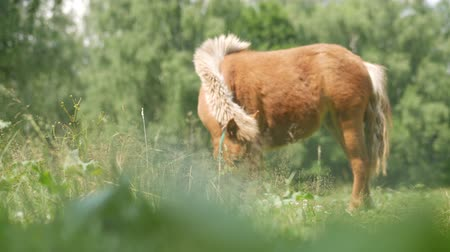rural area : Little cute pony eatin green grass in a summer park. Focused in front