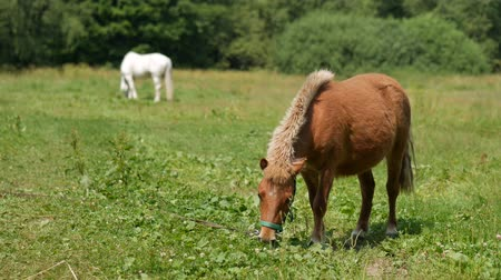 пони : Brown pony grazing on a meadow with horses