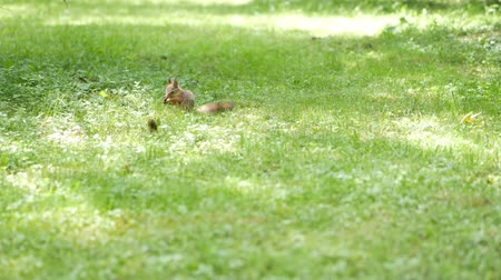 squirrel fur : Squirrel eats on a meadow. Sunlight spots on a green grass Stock Footage