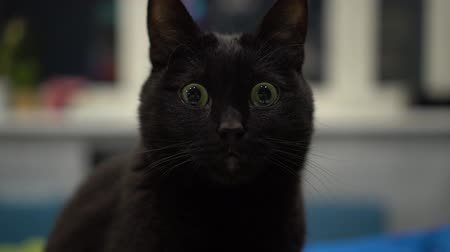 ronronar : Dark cat staring with wide opened eyes and not blinking.