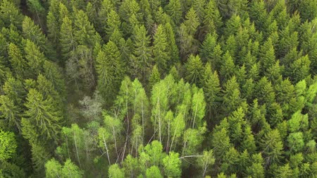 procura : Flying over foresst of firs and birchs. Aerial shot Stock Footage