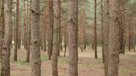 fatörzs : Walking among pine trunks. One lost his way in a forest. POV shot