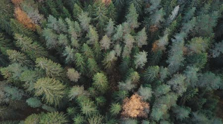 континентальный : Flying over treetops. Aerial shot of firs and yellow birches in fall forest