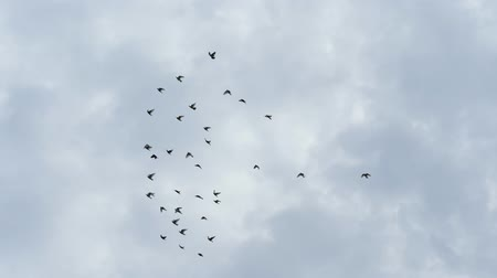 alado : Flock of doves flying in cloudy sky. Slow motion shot Vídeos