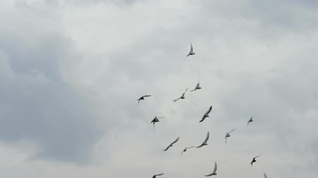 alado : Flock of white pigeons flying in cloudy sky. Slow motion shot Vídeos