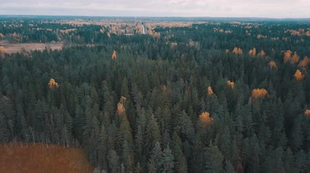 континентальный : Evergreen trees and golden birches in autumn forest. Aerial shot