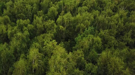rural area : Flying over green tree tops in birch grove. Aerial drone shot of a summer park