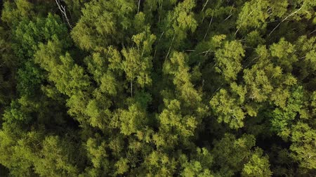 frondoso : Sunlight in bright green tree crowns. Aerial shot of birch grove Vídeos